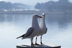 Seagulls (Anna 666) Tags: two seagulls nature water birds animal