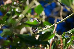 DSC_1528 (john.r.d.reynolds) Tags: goldengatepark birds wildlife hummingbirds