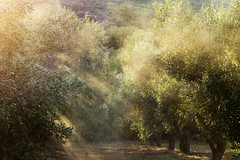 (ZacKak) Tags: trees light color nature horizontal nikon olive sunny beams d3100