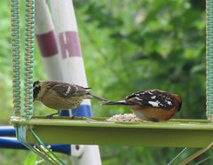 Black-headed Grosbeak (tlhowes2012) Tags: backyardbirds