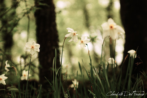 The woods of the daffodils