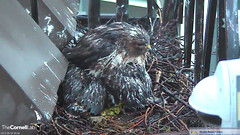 BR shelters young from rain (Cornell Lab of Ornithology) Tags: red bird big nest cams cornell hawks redtailedhawk nestlings labofornithology cornelllabofornithology birdcams