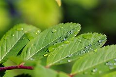 Veepiisad pihlakalehel (Jaan Keinaste) Tags: nature estonia pentax eesti loodus k7 sorbus pihlakas veepiisad pentaxk7 pihlakalehed