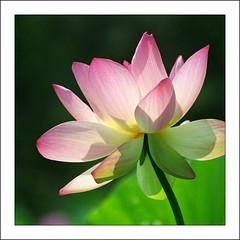 Sunny Lotus (mark willocks) Tags: flower washingtondc nikon lotus scanned kenilworthaquaticgardens