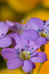 Desert wildflowers-68.jpg (paulgillphoto) Tags:
