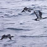 008003-IMG_5550 Pacific Divers (Gavia pacifica) thumbnail