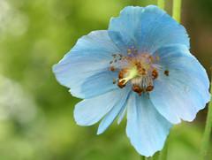 Meconopsis (rosewoodoil) Tags: blue light macro bokeh 100mm centurian 100views 100 usm 50 50views blueflower meconopsis blueandgreen primelens photographedublin somethingblueinmylife