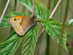 Meadow Brown butterfly - Maniola jurtina (Linz27) Tags: butterfly meadowbrown 300mmf4 yorkshirewildlifetrust nikond7100 upperdunsforthcarr