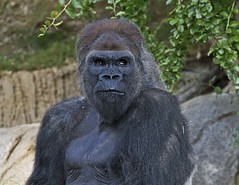 IMG_1297 (Bob Worthington Photography) Tags: park animal gorilla safari sandiegozoo winston greatnature