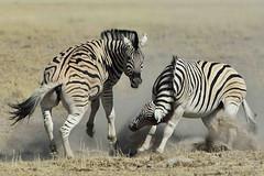 Freedom Frolic! (Duncan Blackburn) Tags: nature mammal nikon wildlife ngc npc zebra namibia supershot specanimal specanimalphotooftheday coth5 5wonderwall sunrays5