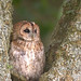 Tawny Owl by Jason Curtis