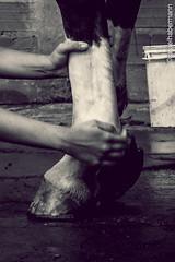 HIPISMO CLSSICO (rafaelhabermann) Tags: brazil horse luz girl brasil canon 50mm evento cavalo bh iluminao hpica camera4 sertanejo eos450d hipismo habermann cavalobh rafaelhabermann brasileirosaltador