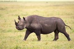 Black Rhino . . . . ! (arfromqatar) Tags: tanzania qatar whiterhinoceros alkhulaifi nikond800 qatarphotos arfromqatar acrosstanzaniaexpeditions qatar2022fifaworldcup abdulrahmanalkhulaifi qatarworldcup2122 ninon200400f4vrii