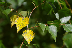 Kolletuvad kaselehed (Jaan Keinaste) Tags: nature estonia pentax birch kask eesti loodus k7 kaselehed pentaxk7 kolletuvadkaselehed