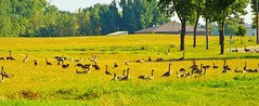 08 25 13_2169_Geese3_edited-1.psd (Heartland Setters) Tags: elementsorganizer