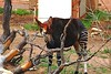Okapia johnstoni (Kuby!) Tags: mountain zoo nikon colorado d70 african springs coloradosprings co mtn feature cheyenne kuby cheyennemountainzoo aza kubitschek cmz accredited johnstoni okapia cmzoo