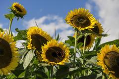 One fine Day (.MARTINE.) Tags: summer sun butterfly zomer sunflower zon martine vlinder zonnebloem 9002 flickrgolfclub nikond800 clanflickr thisisnotinfrance nexttothecarpoolacdemeernalongthea12