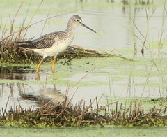 Lesser Yellowlegs (Lana Gramlich) Tags: wild bird lana nature water animal catchycolors louisiana wildlife birding waterfowl lesser yellowlegs nationalwildliferefuge nwr tringaflavipes gramlich bayousauvage neworleanseast fantasticnature dragondaggerphoto canoneosrebelt2i lanagramlich aug172013