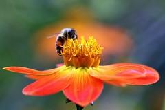 Scarlet Dahlia and Bee (Mah Nava) Tags: dahlia orange flower macro bokeh blume makro hoverfly   schwebfliege dahlie  kleinflottbek botanischergartenhamburg   dahliacoccinea   scarletdahlia lokischmidtgarten scharlachdahlie