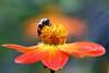 Scarlet Dahlia and Bee (Mah Nava) Tags: dahlia orange flower macro bokeh blume makro hoverfly گل طبیعت schwebfliege dahlie زنبور kleinflottbek botanischergartenhamburg نارنجی ماکرو dahliacoccinea گلکوکب بوکه scarletdahlia lokischmidtgarten scharlachdahlie