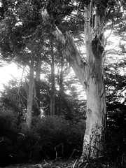 Trees in Golden Gate Park (shaire productions) Tags: sf sanfrancisco goldengatepark park trees blackandwhite bw tree nature monochrome leaves photography photo blackwhite branch natural image outdoor branches picture pic monotone trunks imagery