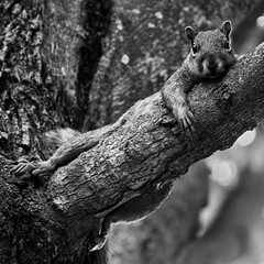 up there (Barbara.K) Tags: blackandwhite tree animal rodent squirrel relaxing monochromatic bark bloomingtonin canon500d canonefs55250mm canonrebelt1i