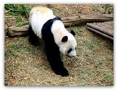 Giant Panda. (cpark188) Tags: animal animals panda wildlife picasa safari giantpanda touristspot kaikai paintnet riversafari zuiko70300 olympuse620 singaporeriversafari