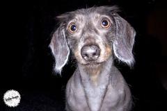 Lola (kirsten krupps ) Tags: blue portrait dog pet cute animal puppy studio photography dachshund doggy pup wienerdog ringlight doxie bluedachshund kirstenkrupps kirstenkruppsphotography