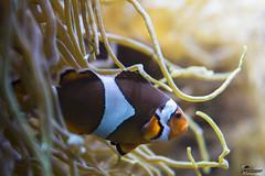 Poisson-clown (Domaine de Drogant) Tags: canon nemo bretagne breizh 6d oceanopolis poissonclown