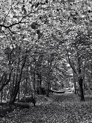 Autumn B&W (morenoberti) Tags: autumn trees bw tree leaves blackwhite ridge cumbria autumnal brampton iphone iphone5 iphonography snapseed
