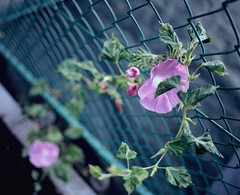 Morning Trombone (YUKIHAL) Tags: morning flower film japan mediumformat pentax bokeh glory 55mm fujifilm 6x7 smc f4 67 pentax67 rvpf p67
