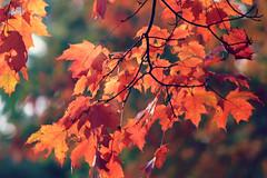 Autumn 2013 (ohgoodgracious) Tags: orange fallleaves sunlight tree fall nature leaves canon outside outdoors leaf october autum bokeh autumnleaves fallfoliage foliage copper sunlit autumnal goldenhour autumnleaf autumnsunlight falllandscape autumnlandscape