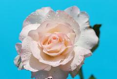 My Garden 9 : Seduction Rose (aciamax) Tags: ros