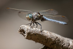 Orthetrum coerulescens  (macropoulos) Tags: topf50 500v20f dragonfly 500v50f animalia arthropoda gettyimages skimmer odonata libellulidae insecta anisoptera canoneos5d extensiontubes keeled 1000v40f orthetrum canonef70200mmf4lusm coerulescens gettyimages:dateadded=20131029