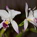 Cattleya labiata v. semi alba – Merle Robboy
