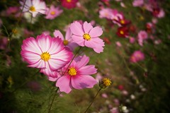 SDIM3380 (Keishi Etoh rough-and-ready photoglaph) Tags: flower sigma cosmos foveon  dp2 omuta  suwapark  dp2x sigmadp2x