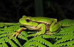 Southern Stream Frog (Litoria nudidigita) (Heleioporus) Tags: park new wales stream south frog east southern national forests litoria nudidigita