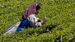 Picking the tea (bag_lady) Tags: woman india tea working kerala worker picking teaplantation picker teapicker mummar earthasia