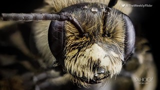 Bee portraits like you've never seen before: Most of us freak out at the mere sight of a bug — let alone a photo! But there's something about biologist Sam Droege's pictures of insects that has hundreds of thousands of people marveling at them...