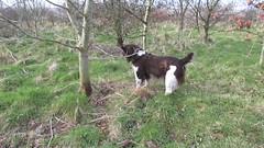 Benjy (billnbenj) Tags: dog video treasure cumbria spaniel springerspaniel barrow benjy