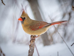 Cardinale (femelle) (Anthony Fontaine photographe animalier) Tags: life wild nature cardinal wildlife animaux sauvage 300mmf4 beauport d7100