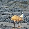 sewri (radhical) Tags: india bird birds flamingoes mumbai ratangad harishchandragad sewri bhandardara kalsubai kokankada flickrandroidapp:filter=none