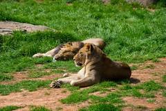 Lion's Pride (Kimballorama) Tags: bear black zoo nikon flamingo alligator northcarolina ostrich falcon lions giraffe polar nikkor bison asheboro nikkorlens 55200mm afsnikkor55200mm1456ged d3200