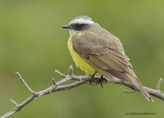 Social Flycatcher (Myiozetetes similis) (Gmo_CR) Tags: myiozetetessimilis socialflycatcher mosquerocejiblanco costarica patiodeagua