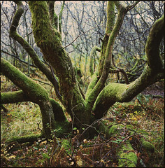 waiting in a bog (steve-jack) Tags: hasselblad 501cm fuji velvia lake district film 120 6x6 medium format epson v500