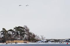 Cygnus olor (Timo Leppäharju) Tags: joutsen kallvik kyhmyjoutsen lumi meri uutela