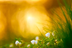 A tiny dreamworld (Ans (major computer problems)) Tags: ansvandesluis bokeh bokehlicious botanic botanical flora floral flower macro march nature sunset nederland small tiny dreamworld