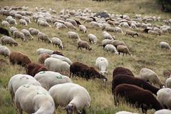 Compter les moutons........................... (Diké) Tags: sortie été oeuvres horizonssancy art nature grands sites auvergne chemins rencontre inattendu moutons dikée archives