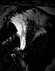 Bald Eagle Photo Experiment (rabidscottsman) Tags: scotthendersonphotography eagle baldeagle fish prey predator meal inthetree blackandwhite march2017 bw wildlife seafood freshfish nocolor colorremoved nikon nikond7100 d7100 tamron tamron18270 18270 mn minnesota saturday weekend lakecityminnesota eat eating raptor lakepepin mississippiriver park bird dslr usa unitedstatesofamerica roughfish expirament verticalformat travel eatingafish socialmedia fav10
