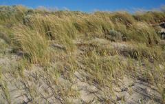 Ammophila arenaria ssp arenaria and Poa pubinervis, Swanbourne Beach, Perth, WA, 06/12/16 (Russell Cumming) Tags: plant weed ammophila ammophilaarenaria ammophilaarenariaarenaria poa poapubinervis poaceae swanbournebeach perth westernaustralia
